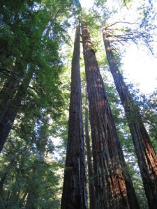redwood-trees-2